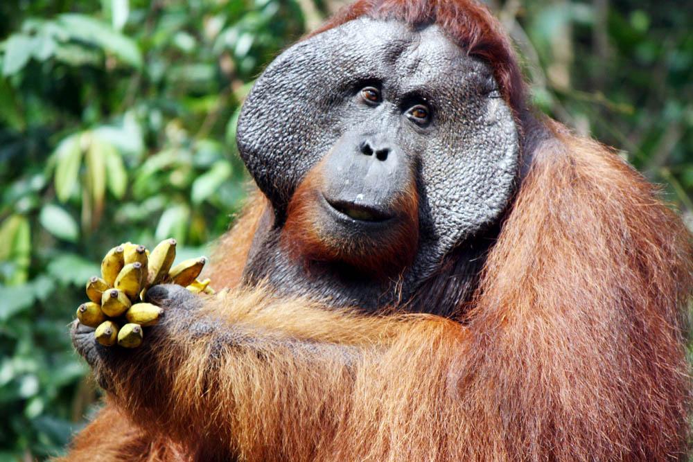 Orangutan Tanjung Puting (1)