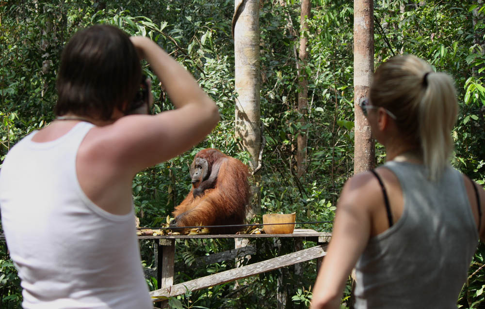 Orangutan Tanjung Puting (2)