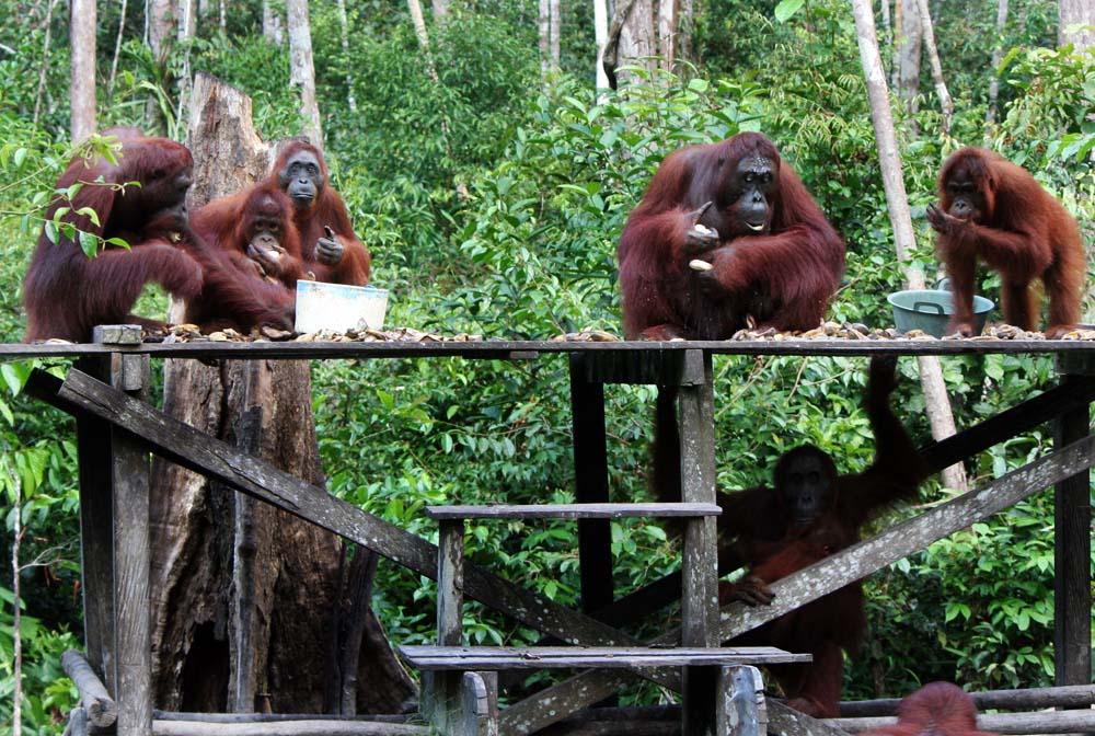Orangutan Tanjung Puting (4)