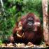 Trip Seru di Jamuan Meja Makan Raja Orangutan